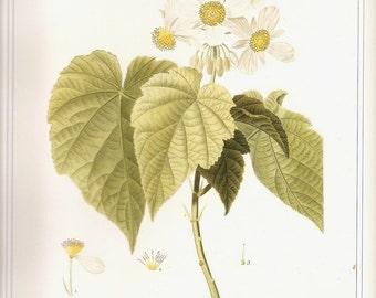 REDOUTE Vintage 1990 Art Print Botanical Original Book Plate 74 Beautiful White Wild African Daisies Daisy Petals Chart Antique Writing