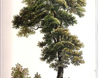 REDOUTE Vintage 1990 Art Print Botanical Original Book Plate 76 Beautiful Large Tree with Pink Rose Bush