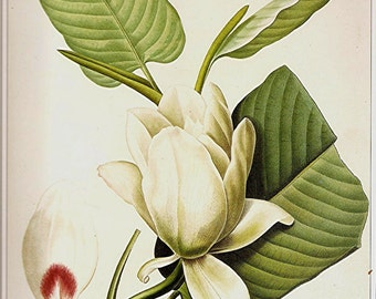 REDOUTE Vintage 1990 Art Print Botanical Original Book Plate 88 Beautiful Large Antique White Magnolia Flower Petals Nature Plant