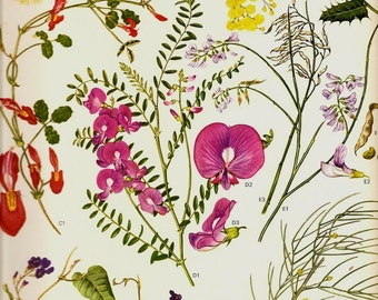 Vintage 1970 Color Art Print Wild Flowers Original Book PLATE 131 Pink Red Yellow Purple Wild Pea Wild Orchid Queensland Wattle