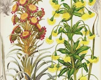 Vintage Botanical Print 1970 Color Art Wild Flowers Book PLATE 150 Beautiful Silversword Iliau Prange Pink Yellow Tall Flower Summer Plants