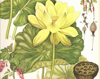 Vintage Botanical Print 1970 Color Art Wild Flowers Book PLATE 152 Beautiful Yellow Lotus Lily Pond Lily,Fuchsia Goseberry  Flowers Plants