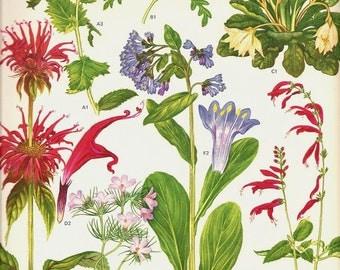 Vintage Botanical print 1970 Art Wild Flowers Original Book PLATE 164 Beautiful Oswego Tea Bluebell Blue, Yellow, Pink Red with Petal Charts