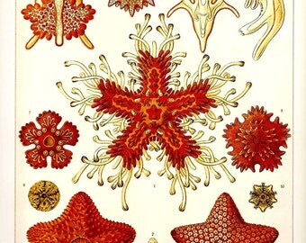 Ernst Haeckel 2010 Art Print Beautiful Colored Book Page PLATE 39 and 40  SeaStars Orange Red Golden Brown,Ocean Sea Corals  Black White