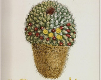Botanical Print REDOUTE Vintage 1990 FLOWERS Art Print Frameable Botanical Original Book Plate 18 Cactus Mamillaris Yellow Red Berries