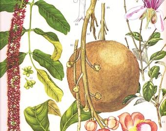 Vintage Botanical Print 1970 Color Art Print Wild Flowers Original Book PLATE 180 Beautiful Fruit,Pink Orange Gardenia Tropical