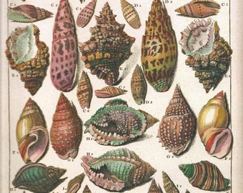 Print SHELLS Art Frameable Original 2009 Book Plate 31 Beautiful Shells French Colored Antique Copper Engraved Plates Ocean Marine Sea Life