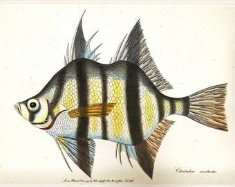 Vintage FISH PRINT Dragonet Opah 1990 Art Original Book Plate 30 Antique Picture to Frame Beautiful Wall Hanging Decoration