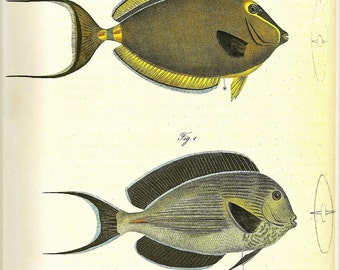 Vintage FISH PRINT Two Surgeonfish1990 Art Original Book Plate 34 Beautiful Antique Fish Picture to Frame Wall Hanging Interior Design