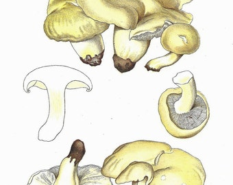 Vintage MUSHROOM Print 1970 Color Doublesided Painted Art Book PLATE 113 114 Edible Lyophyllum Room Wall Hanging Decoration Picture to Frame