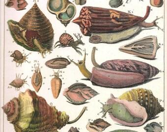 SEA SHELLS Marine SNAIL Print Art 2009 Book Plate 184 Beautiful Antique French Snails Molluses Engraved Ocean Marine Sea Life Nature
