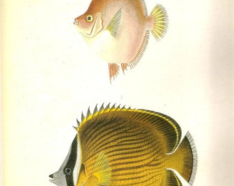 Vintage FISH PRINT Boarfish and Golden Butterflyfish 1990 Art Print Original Book Plate 74 Picture to Frame Wall Decoration Home Decor