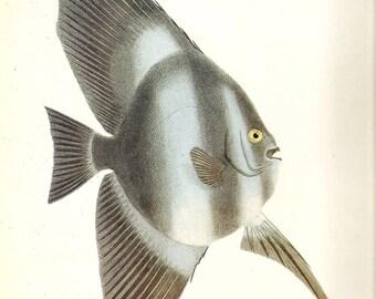 Vintage FISH PRINT Batfish 1990 Art Print Original Book Plate 76 Beautiful Large Antique Picture to Frame Wall Decoration Home Decor