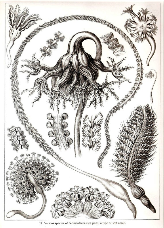 Ernst Haeckel CORALS Art Print Collectable Vintage 1974 Book PLATE 19 and 20 Pennatulacea and Sea Lilies