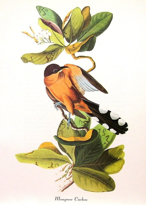 Vintage Bird Print Audubon Birds of America Vintage 1979 Art Print Collectable Book PLATE 92 Mangrove CUCKOO