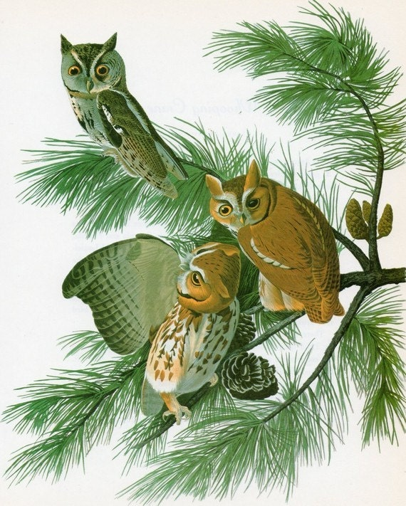 OWL Print Vintage Audubon  Birds of America Vintage 1979 Art Print Collectable Book PLATE 126 Screech Owl