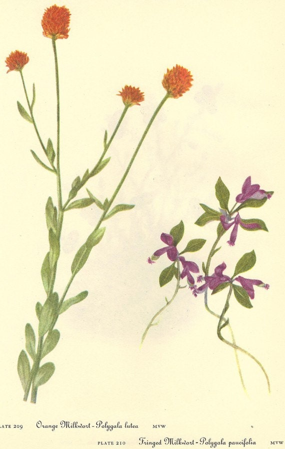 Vintage 1968 Color Print Wild Flowers of America Book PLATE 209 210 211 Crowberry and Orange Fringed Milkwort