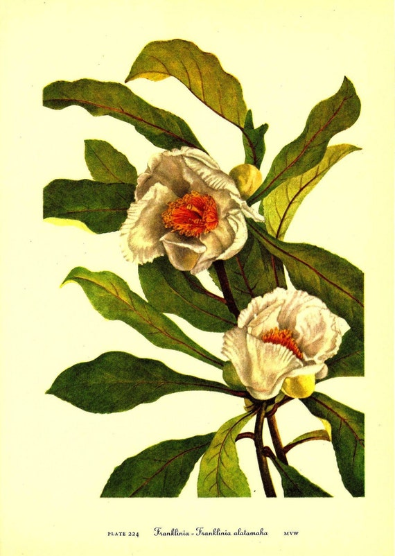 Vintage 1968 Color Print Wild Flowers of America Book PLATE 224 225 Franklinia Stewartia White Yellow Beautiful Large Flowers Frameable