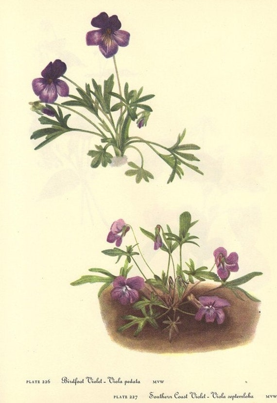 Vintage 1968 VIOLET Color Print Wild Flowers of America Book PLATE 226 227 228 229 Canada n Smooth Yellow Violet and Violet Beautiful Purple