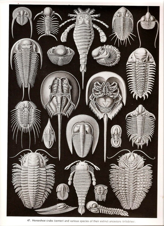 Ernst Haeckel JELLYFISH Art Print Vintage 1974 Book PLATE 47 and 48 Horseshoe Crabs and their Ancestors and Stalked Jellyfishes