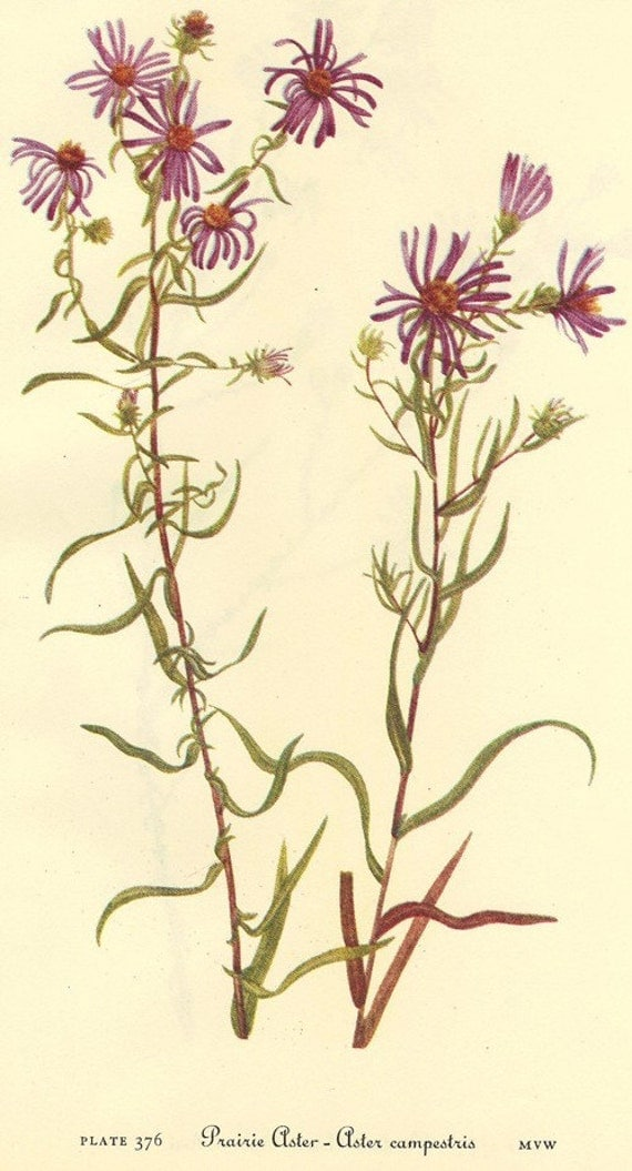 Vintage Botanical Print 1968 Color Print Wild Flowers of America Frameable Book Plate 375 376 Prairie Aster and Pineland Aster