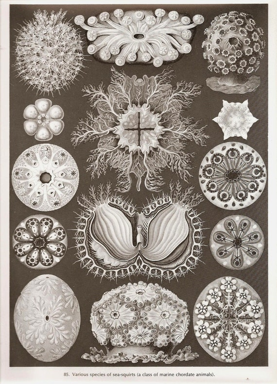 Vintage Print 1974 Ernst Haeckel CRAB CRAYFISH Art  Book PLATE 85 and 86 Crabs and Crayfishes and Sea Squirts