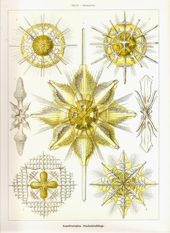 Ernst Haeckel Art Print Beautiful 2010 Colored Book Page PLATE 21 and 22 Acanthometra, Stachelstrahlinge, Spyroidea and Nuschenstrahlinge