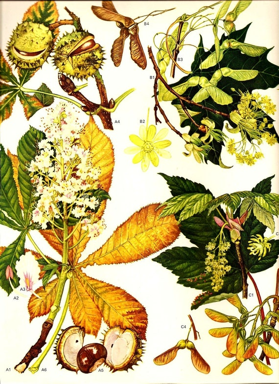Vintage 1970 Color Art Print Wild Flowers Book PLATE 19 Beautiful Golden Yellow and Green Leaves with Flowers and Tree Nuts