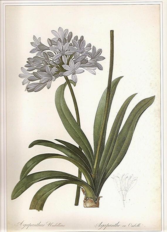 REDOUTE Vintage 1990 FLOWERS Color Art Print Frameable Botanical Original Book Plate 40 Beautiful Blue Flowers Agapanthus