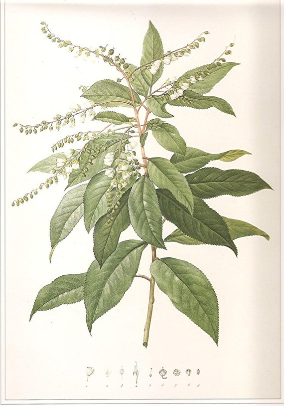 Botanical Print REDOUTE Vintage 1990 FLOWERS Art Book Plate 48 Clethra Arborea Ait. Beautiful White Flowers and Green Leaves Plant
