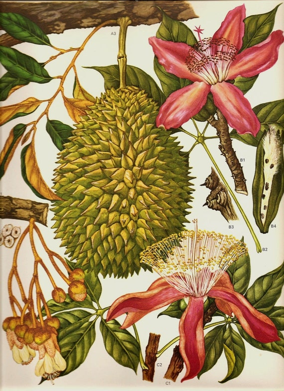 Vintage 1970 Color Art Print Wild Flowers Book PLATE 115 Beautiful Large Green Tropical Fruit Orchid Pink Flowers Tree Branches