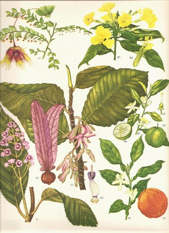 Vintage Botanical Print 1970 Art Wild Flowers Original Book PLATE 119 Beautiful Seville Orange Green Lime Pink Yellow Flowers Tropical Fruit