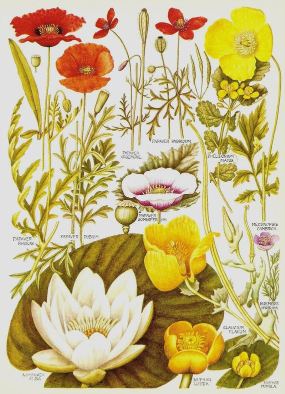 Vintage 1969 BRITISH WILDFLOWERS Bookplate 6 Art Print White Yellow Water Lily Puppy Opium Poppy and Poppies in Red, Pink and Yellow Flowers