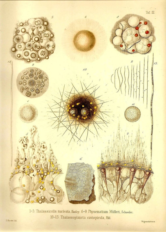 Ernst Haeckel OCEAN Lithograph Art Print Beautiful Colored Frameable Collectable Book PLATE 3 Sea Life Beautiful Ivory, SIlver and Yellow
