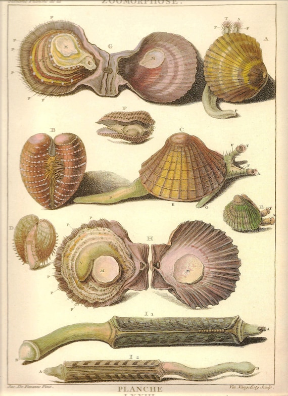 SEA SHELLS Clams Oysters Print Art 2009 Book Plate 192 Beautiful Antique French Marine Nature Bivalves Ocean Sea Life Boat House Room Decor