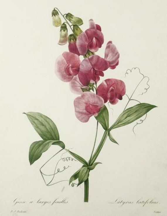 Botanical Print Vintage 1981 Redoute Art Print 65 Pink Sweet