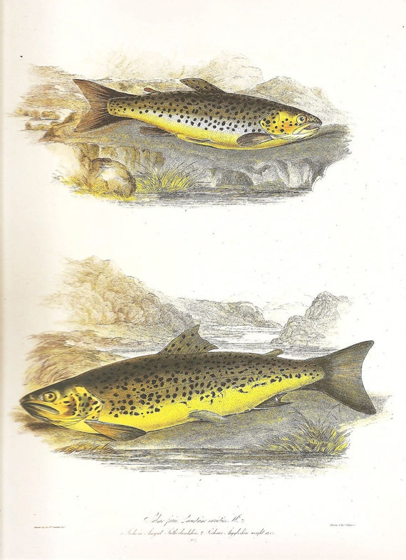 Vintage FISH PRINT Brown Trout 1990 Art Print Original Book Plate 72 Beautiful Antique Picture to Frame Wall Decoration Home Decor