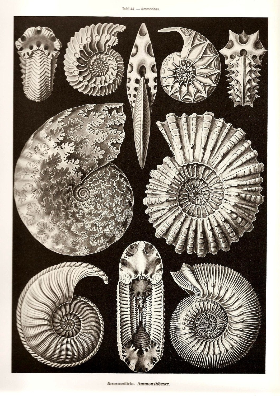Ernst haeckel shells corals colored art by naturalistcollection