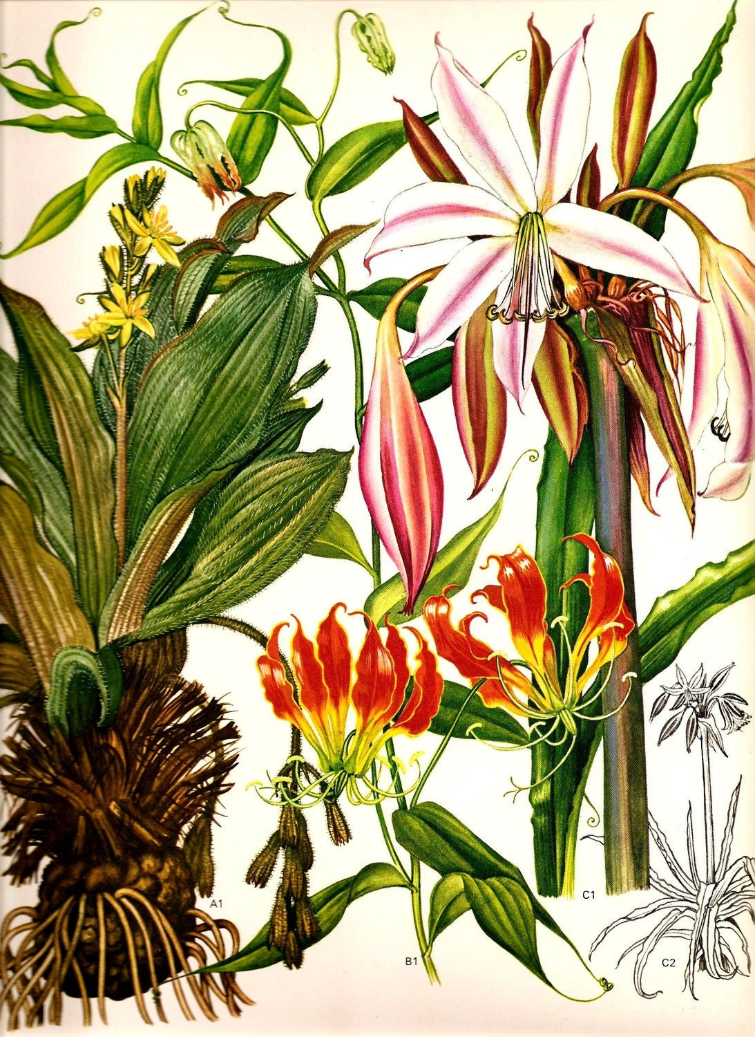 Vintage Botanical Print 1970 ORCHID LILY Color Art Wild