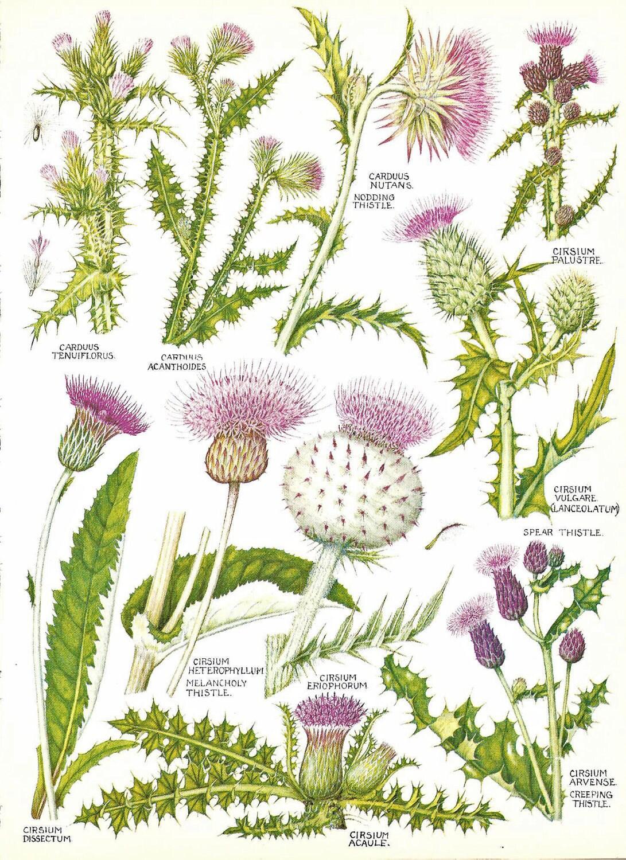 Vintage Botanical Print 1969 British Wildflowers Bookplate