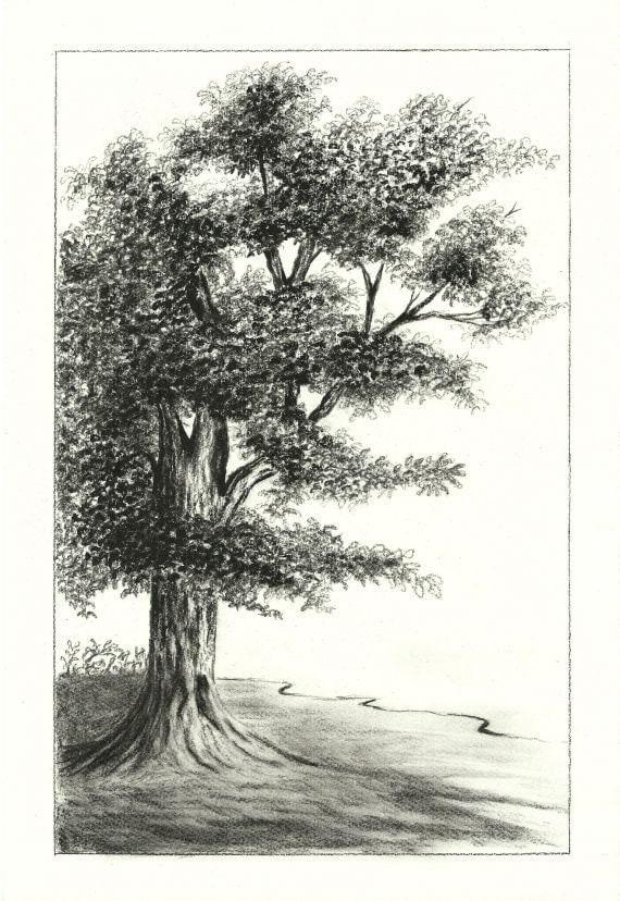 Acorn Tree Drawing Oak Tree Charcoal Drawing