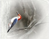 red bellied WOODPECKER, a feathered friend 8x8 print