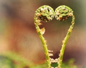FIDDLEHEAD LOVE, two heartfelt ferns 8x8 print