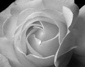 SALE - Valentines Flowers - Black and White Rose - Beautiful Blooming Rose 8x10 - Ready to Ship