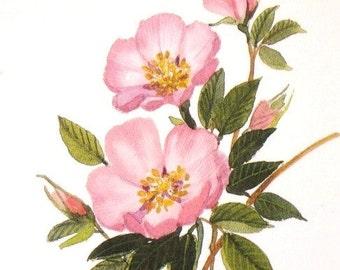 Prairie Rose - Pink Wildflower Print - Watercolor Painting