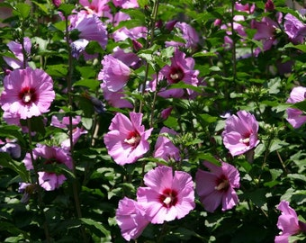 Pre-Order for end of April, Begining of May 2017, 10 Pink  Hibiscus Plants or Shrubs, Hardy, Rose of Sharon, Perennial