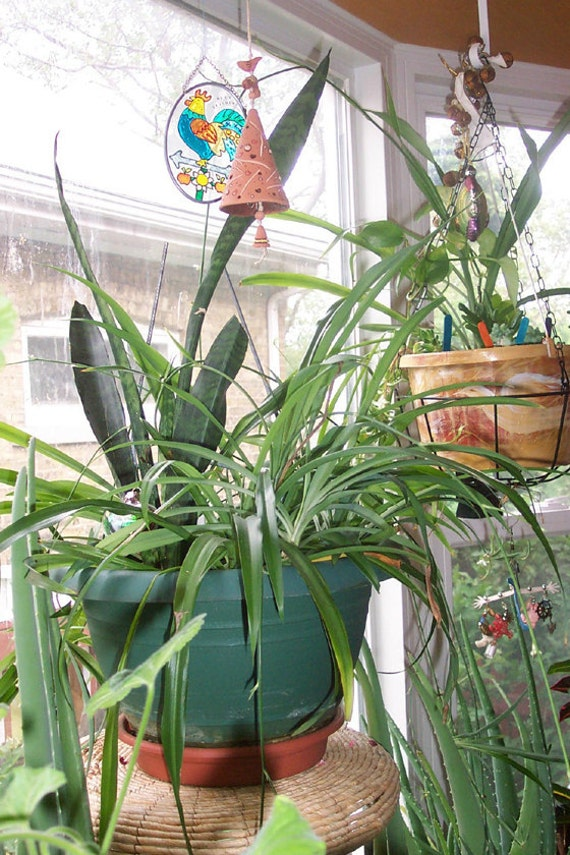 5 live plants spider plant for indoor or outdoor easy to for Small easy to grow plants