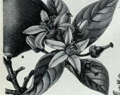 Plants Used To Make Perfume Patchouli Rose Citrus Lavender 2 Sided Print German Engraving Original Print