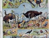 Birds Ostrich Heron Flamingo Cranesand Bird Nests French 1920's Original Antique 2 Sided Color Print