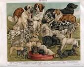 Rare Antique Print Late 1800s Dog Breeds Saint Bernard Bull Terrier Great Dane Mastiff Collie Chromolithograph Original Illustration